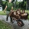 borneo_orangutan_3_large