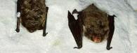 <b>Aita kaitsta nahkhiirte talvitumispaikasid</b>